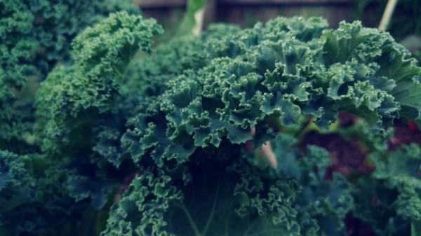 Jarmuż – moc zielonego zdrowia